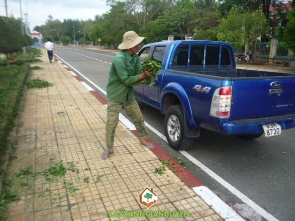 Công nhân đang bốc cây Hắc Ó lên xe đem về