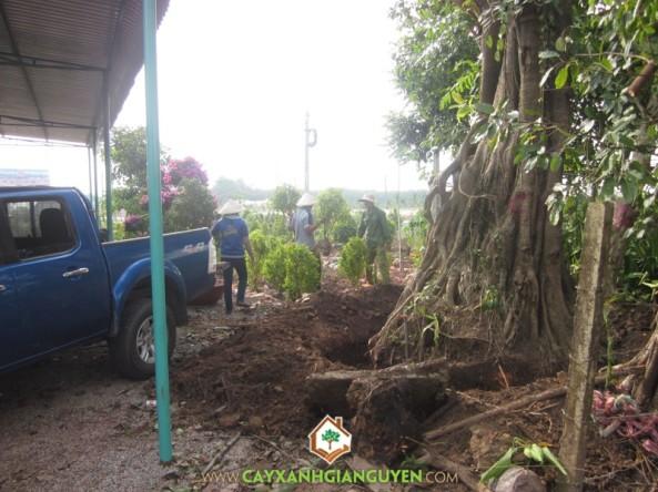 Cây cổ thụ trong vườn được bứng lên, mang đi trồng ở công trình mới