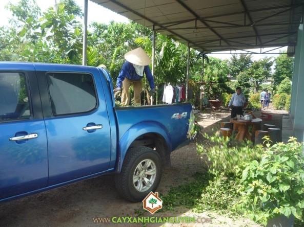 Bốc cây Hắc Ó xuống vườn Cây Xanh Gia Nguyễn
